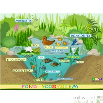Pond Ecosystem Wallboard
