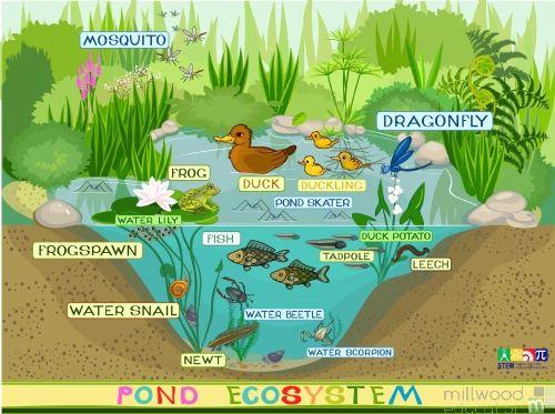 Pond Ecosystem Wallboard