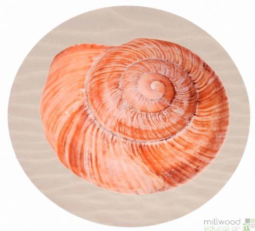 Shell Sea Snail